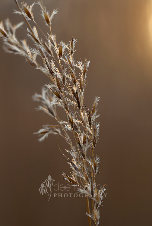 Gently blowing in the autumn breeze, a soft light gently illuminates the showy bronze–colored seeds. Not only beautiful, Indian grass is a great food source for native wildlife, with plenty of seeds for both birds and small mammals.