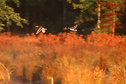 Duck flying in autumn landscape