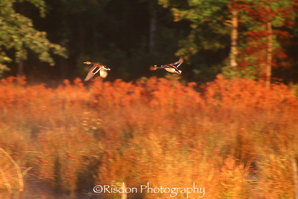 Duck flying in autumn landscape