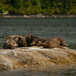 Harbor Seals (Phoca vitulina), Hotham Sound, Sunshine Coast, British Columbia, Canada