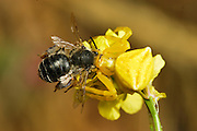 Close up of a yellow Crab Spider (Thomisus onustus) eating a wild bee