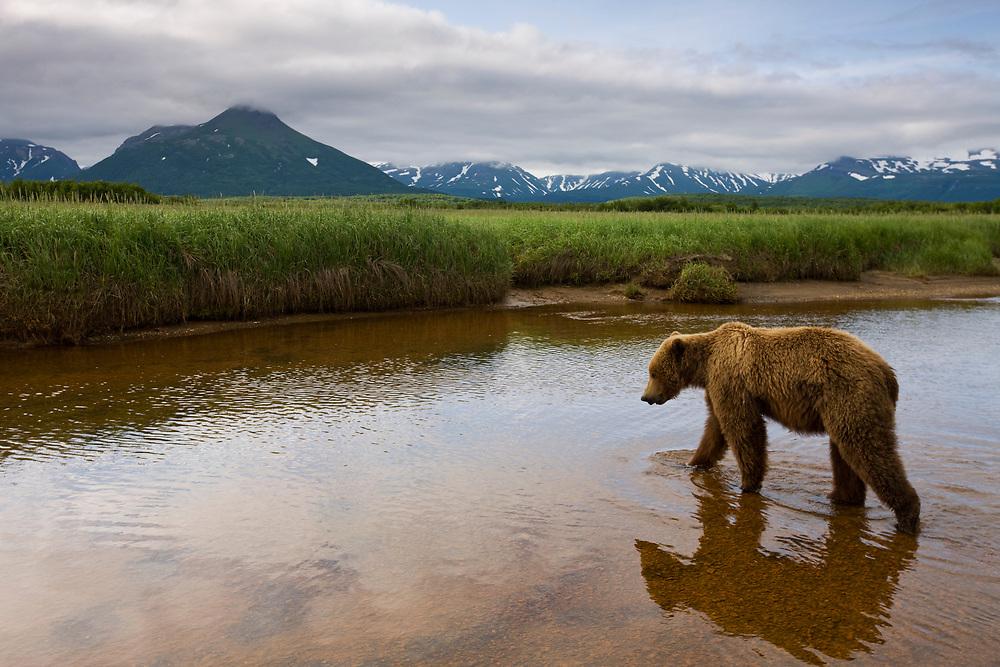 USA, Alaska, Katmai National Park, Brown Bear (Ursus arctos) walking through shallow stream by Hallo Bay