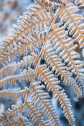 Hoar frost on Bracken. Pteridium aquilinum