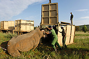 White Rhinoceros (Ceratotherium simum) sedated for relocation. Conservation Solutions team Vet Andre Uys & Kester Vickery loading it into crate for transport<br /> Private Game Reserve<br /> SOUTH AFRICA<br /> RANGE: Southern & East Africa<br /> ENDANGERED SPECIES