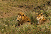 Male and female lion, Serengeti National Park, Tanzania