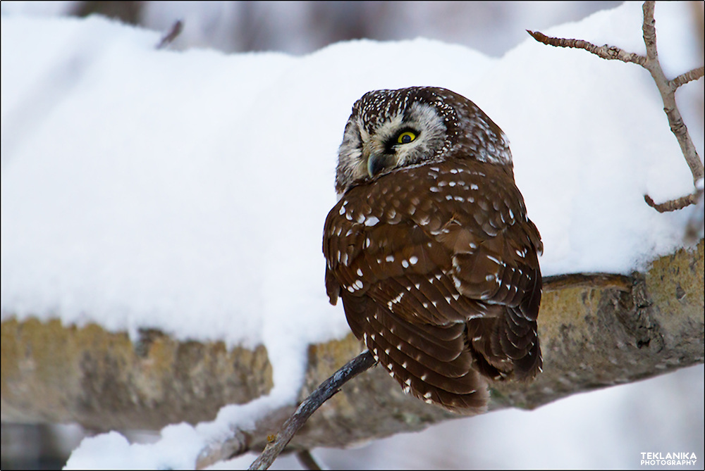 A winter boreal owl perched on a snowy branch.