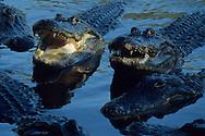 Vereinigte Staaten von Amerika, USA, Florida: amerikanischer Mississippi-Alligator (Alligator mississippiensis). Gruppe von Alligatoren mit geoeffneten Maeulern. | United States of America, USA, Florida: American Alligator, Alligator mississippiensis, group of Alligators with open mouth's. |