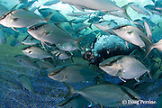 Kona Blue Water Farms co-owner Neil Sims inspects captive Kona kampachi, Seriola rivoliana, also known as Hawaiian yellowtail, kahala, or almaco jack, in underwater net cage used for open ocean fish pen aquaculture, Kona Coast, Hawaii Island ( the Big Island ), Hawaiian Islands, USA ( Central Pacific Ocean )