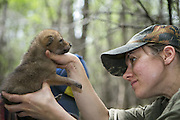 Coyote <br /> Canis latrans<br /> Four-week-old pup being examined by wildlife researcher, Abby-Gayle Prieur, of the Cook County Coyote Project<br /> Chicago, Illinois<br /> *Model release available