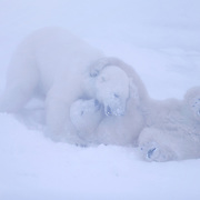 Two male polar bear cubs play-fighting. Churchill, Manitoba, Canada