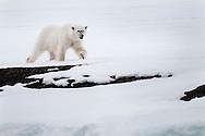 Polar Bear, Svalvard, Norway / Oso polar, Svalbard, Noruega