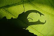 This stag beetle (Lucanus cervus) is living on oak trees. Biosphere Reserve 'Niedersächsische Elbtalaue' (Lower Saxonian Elbe Valley), Germany |
