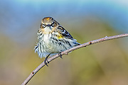 Yellow-rumped Warbler - Dendroica caronata sitting on a branch all fluffed up