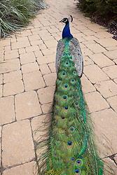 Indian peafowl or blue peafowl (Pavo cristatus) / Male peacock stands on a walkway, Los Angeles County Arboretum and Botanic Garden, Arcadia, California, United States of America