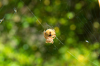 "The cat-faced spider is a small member of the orb weaver family that rarely exceeds a centimeter in length and is harmless to humans. There are two ""horns"" on the abdomen that if looked at the right way, appear to be shaped like cats' ears with two small dimples exactly where you would expect to see the cat's eyes. Common in the Western United Staes and Canada, these spiders breed in the summer, lay an egg sac in the fall, and the spiderlings hatch and disperse in the wind via ""web parachutes"" in the spring to start the life cycle all over again."