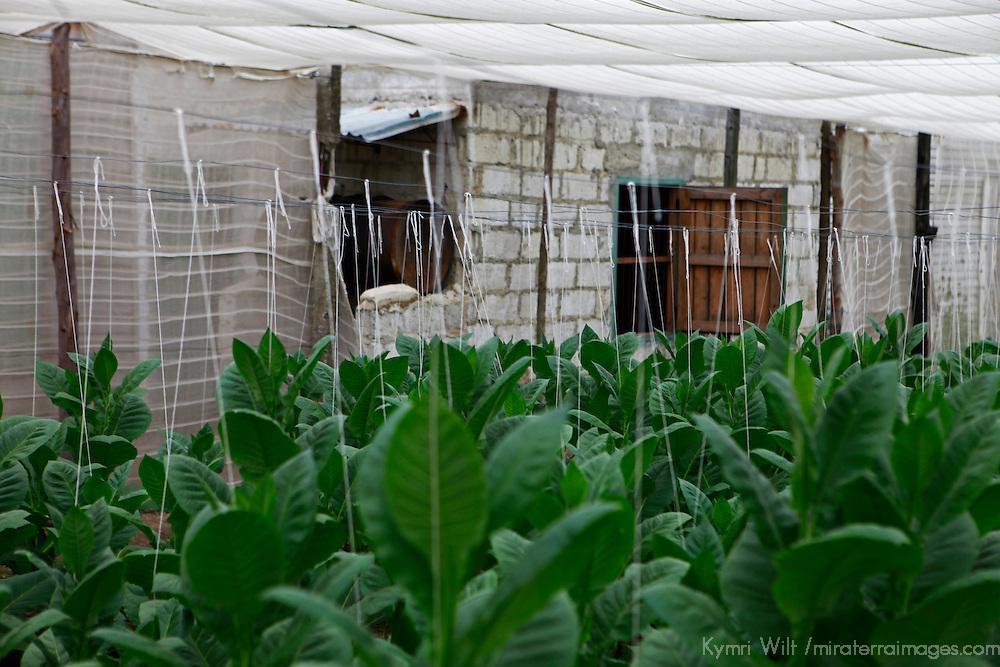 Cnetral America, Cuba, Pinar del Rio, San Luis. Cuban Tobacco plants in greenhouse at Finca Robaina plantation.