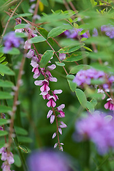 Indigofera pendula with Verbena bonariensis