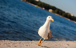 THEMENBILD - URLAUB IN KROATIEN, eine Möwe spaziert auf der Mauer der Strandpromenade, aufgenommen am 03.07.2014 in Porec, Kroatien // a seagull walking on the wall of the beach promenade in Porec, Croatia on 2014/07/03. EXPA Pictures © 2014, PhotoCredit: EXPA/ JFK
