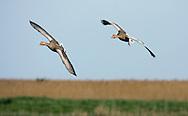 Greylag Goose - Anser anser