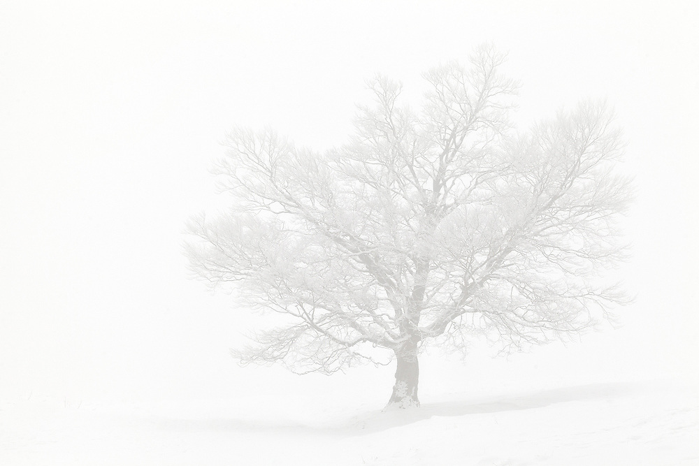 Old oak tree in the mist, Valley the Chaudefour, Auvergne, France