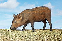 Brown pig sniffing food on hay against sky background side view (digital composite)