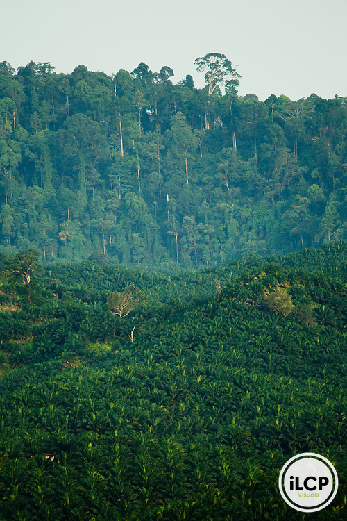 African Oil Palm (Elaeis guineensis) plantation with native Meranti (Dipterocarpaceae) lowland rainforest in background, Tawau Hills Park, Sabah, Borneo, Malaysia