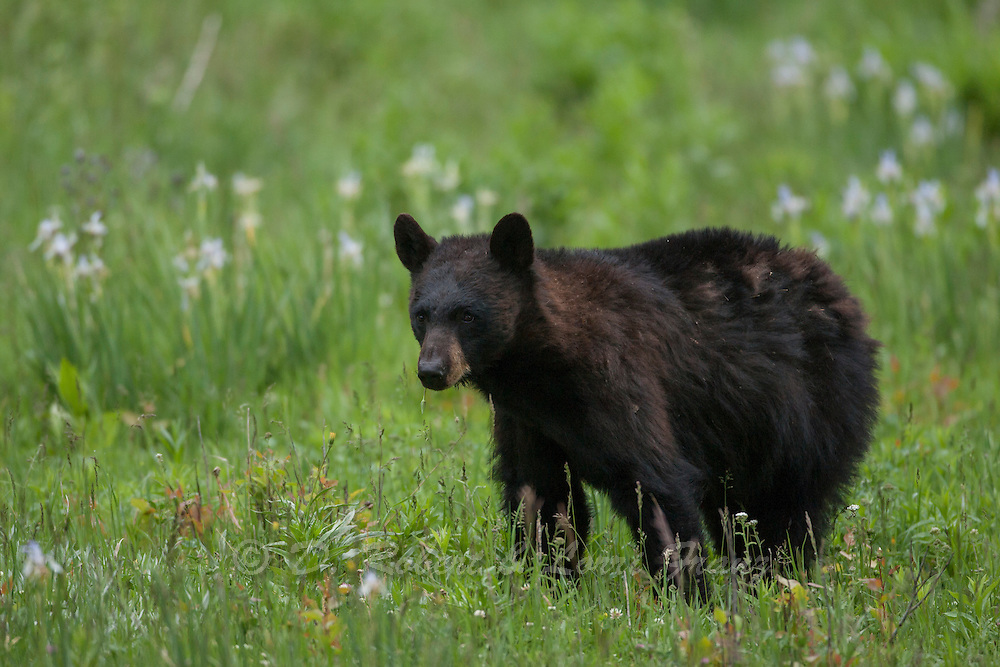Western black bear in the Greater Yellowstone Ecosystem