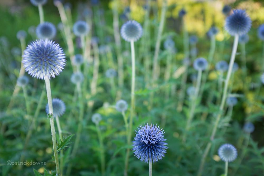 Globe Thistle plant