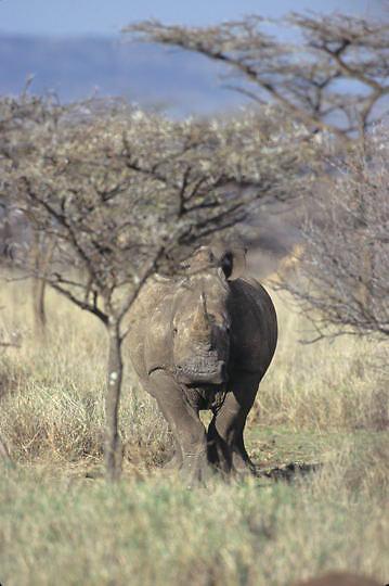 White Rhinoceros, (Ceratotherium simum) Kenya. Africa.