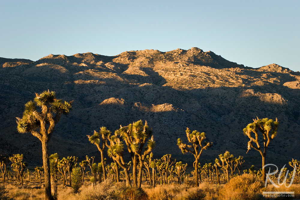 Joshua Trees Against Shadowed Mountain, Joshua Tree National Park, California