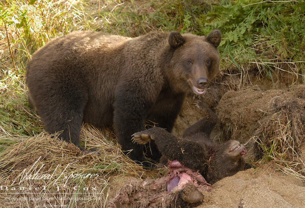 Alaskan Brown Bear (Ursus middendorffi) female adult kills and feeds on spring cubs. Early summer in Katmai National Park, Alaska