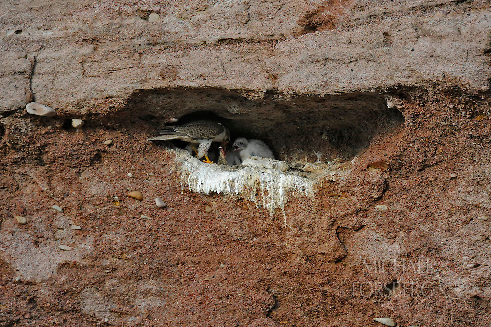 High Plains, shortgrass prairie region - Front Range, CO..Prairie falcon feeding chicks at nest under a small rock ledge in a ravine in middle of prairie....