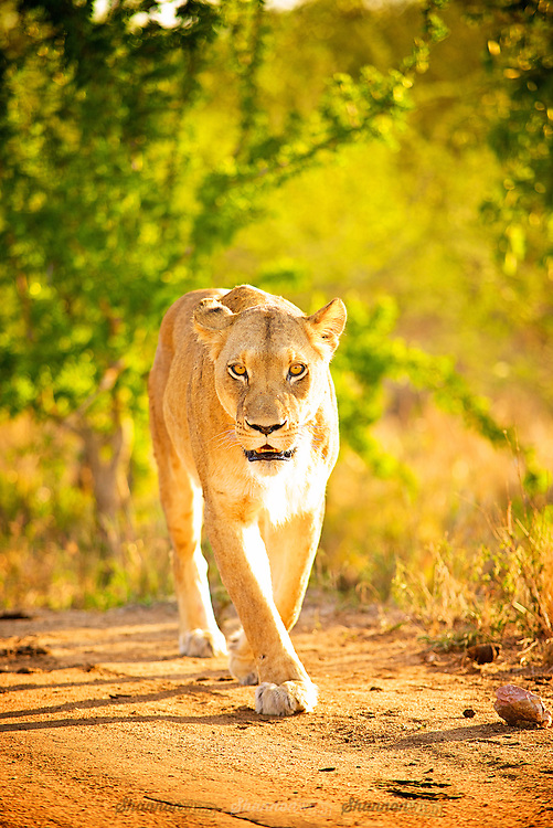 The lion is one of the five big cats in the genus Panthera and a member of the family Felidae. With some males exceeding 250 kg in weight, it is the second-largest living cat after the tiger.