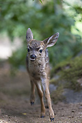 Black-tailed Deer<br /> Odocoileus hemionus<br /> One-week-old orphaned fawn running<br /> Kindred Spirits Fawn Rescue, Loomis, California