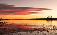 Sandhill Cranes landing at Wetland Roost pond  at sunset in Bosque del Apache Wildlife Refuge in New Mexico. Winter.