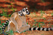 Ring-tailed lemur with young, Berenty Reserve, Madagascar