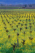 Barren grape vines in field of mustard in spring, Silverado Trail, Napa County, CALIFORNIA