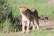 Lioness (Panthera leo) in the grass. Photographed in Tanzania