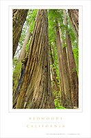 Redwoods California Poster