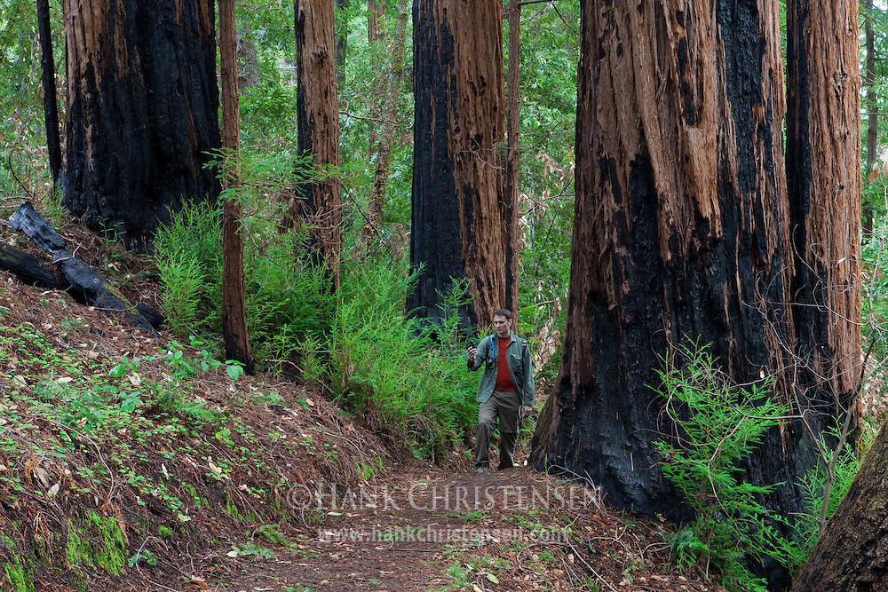 A hiker follows the Berry Creek Falls loop past giant redwoods, Big Basin Redwoods State Park