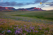 Lupine wildflowers and Sawtooth Ridge along the Rocky Mountain Front near Augusta, Montana, USA