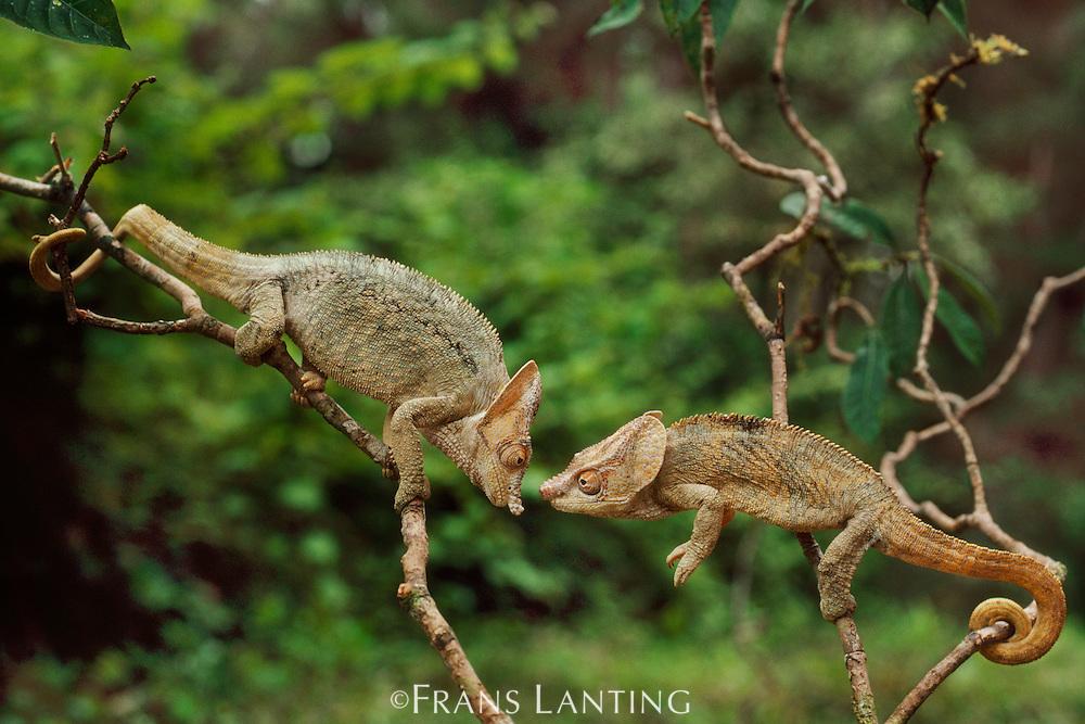 Short-horned chameleons fighting, Calumma brevicornis, Madagascar