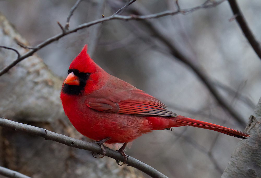 Nothing is more uplifting to see in the dead of Winter than a bright red cardinal.