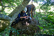 White Tailed Eagle (Haliaeetus albicilla) pair of chicks in nest being ringed by ringers. Biological measurements being taken, beak size
