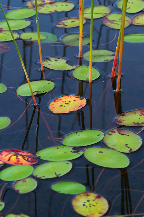 Orange and green water lily pads at Little Long Pond in Maine on Mount Desert Island. It often takes some time and looking around to find and isolate a nice patch. Little Long Pond is a favorite dog walking spot. Archie had a blast and messed with my composition a couple times when he jumped right in front of the camera into the lily pads - crazy fun guy.<br />