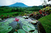 Gunung Agung (3142m), active volcano and Bali's highest mountain, towering over rice terraces near Iseh. The flower basin belongs to a private villa overlooking the paddyfields.