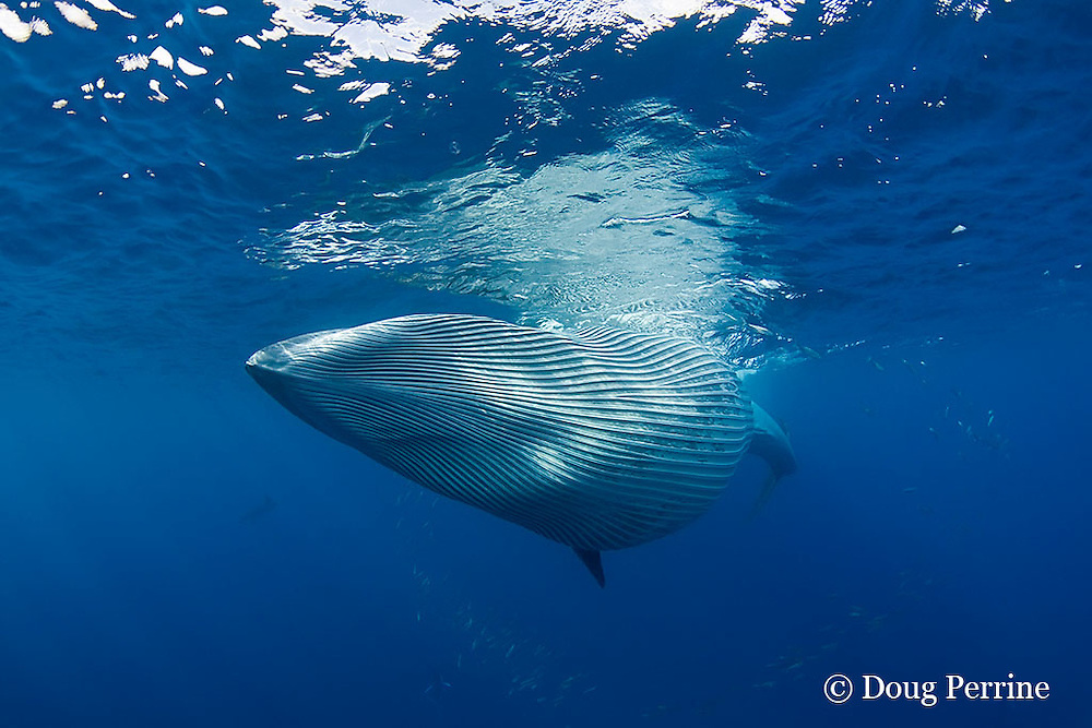 Bryde's whale, Balaenoptera brydei or Balaenoptera edeni, with throat pleats expanded after feeding on baitball of sardines, Sardinops sagax, off Baja California, Mexico ( Eastern Pacific Ocean ) #5 in sequence of 7