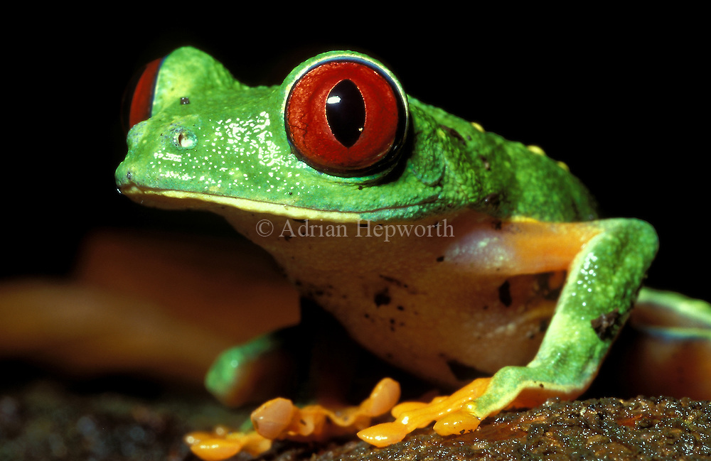 Red-eyed Tree Frog (Agalychnis callidryas) in caribbean rainforest. Tortuguero National Park, Costa Rica. <br /> <br /> For pricing click on ADD TO CART (above). We accept payments via PayPal.