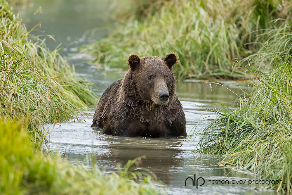 Brown bear boar (Ursus arctos) wading in river fishing for salmon;  Lake Clark NP, Alaska in wild.