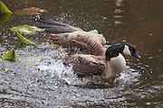 Canada Goose (Branta canadensis), Bellingham, WA
